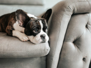 A French bulldog resting on a grey couch - veterinarians in Houston